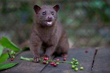 麝香猫的胃是成就美味猫屎咖啡的关键