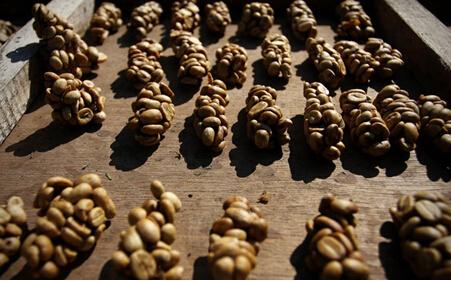 烘培后的猫屎咖啡豆